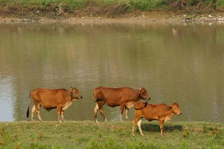Cows stand at the river bank in the sunny afternoon