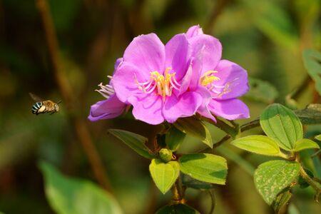 Bee flies to the wild flower on the hillside. Melastoma malabathricum plant Stock fotó