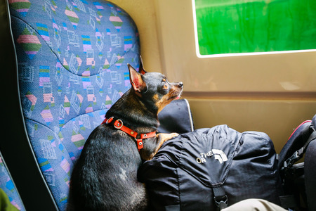 jitter: chihuahua traveling Stock Photo