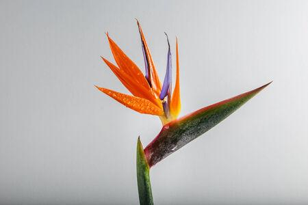 Bird-of-Paradise Flower photo