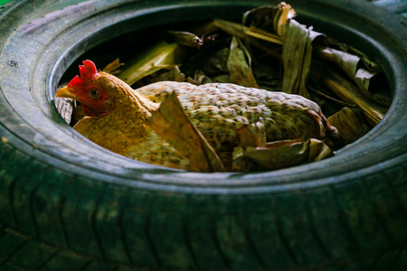 brooder: Hen brooding in the tire