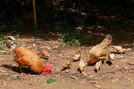brooder: Hen rooster and cubs