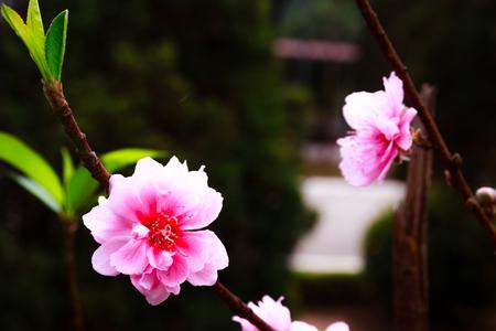 vietnamese ethnicity: Cherry blossom