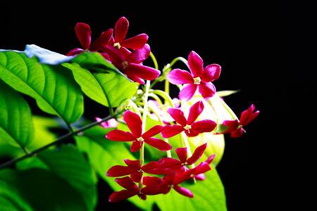 suckle: Quisqualis flower