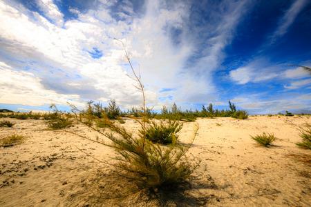 ironwood: Casuarina trees on the beach sand