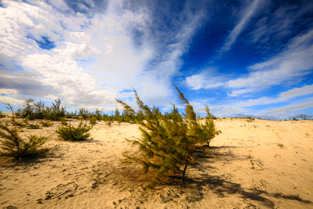 ironwood: Casuarina trees on the beach sand