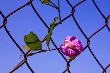 living organisms: Wild flowers beans climb fence