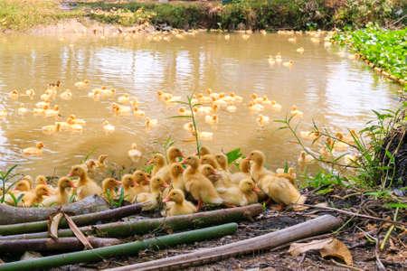 baby ducks: baby ducks swimming