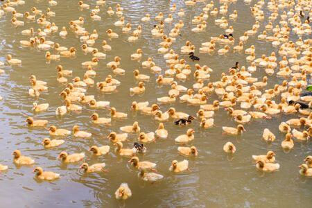 freshwater bird: baby ducks swimming