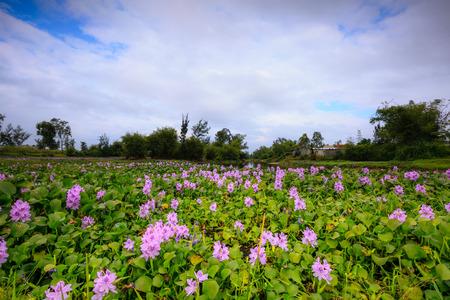 water hyacinth: Water Hyacinth (Eichhornia crassipes)