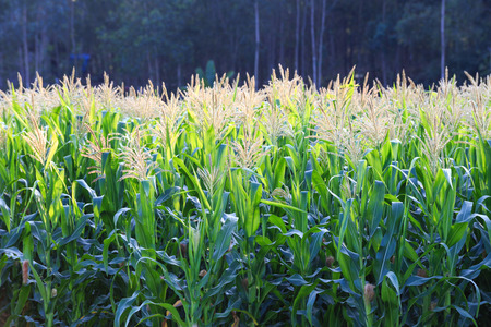 Corn fields are blooming photo