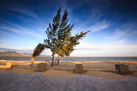 ironwood: Casuarina trees seafront