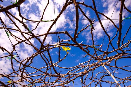young leaf: Brotes de las hojas j�venes de la vi�a