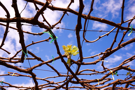attribute: Young leaf buds in the vineyard Stock Photo