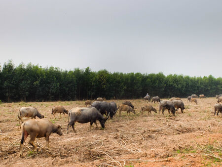 conservation grazing: Buffalo grazing in a field