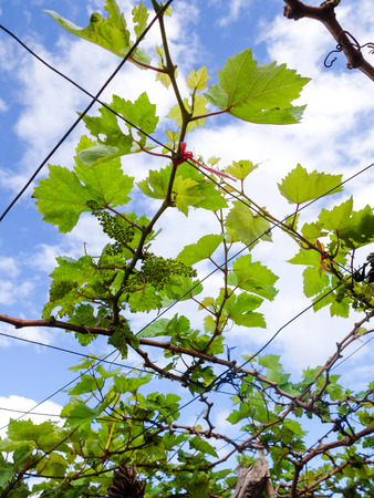 changing form: Young vine grapes forming Stock Photo