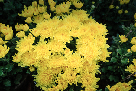 coronarium: Yellow Chrysanthemum coronarium
