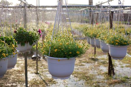hanging basket: Hanging Basket chrysanthemum