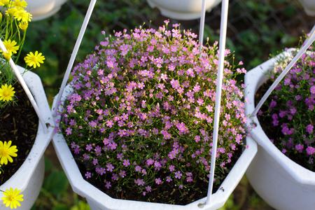 hanging basket: Hanging Basket purple daisies Stock Photo