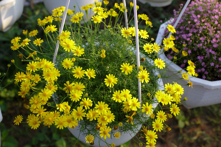 Hanging Basket chrysanthemum photo