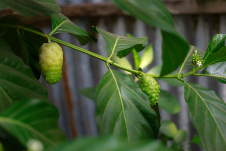 noni: Noni fruit in VietNam