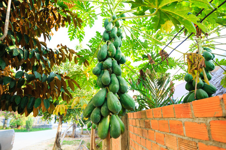 the fruitful: Bunch of papayas hanging from the tree Stock Photo