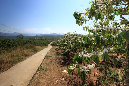 arbol de cafe: Floraci�n del caf�