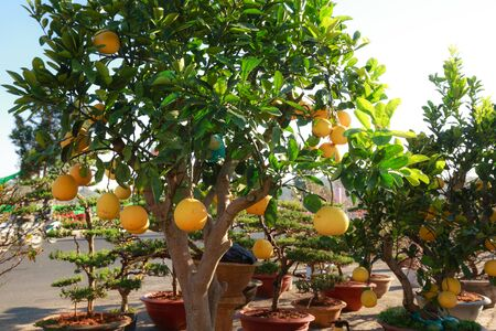 grapefruits: Fresh grapefruits on the tree Stock Photo