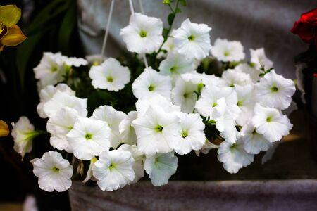 petunia photo