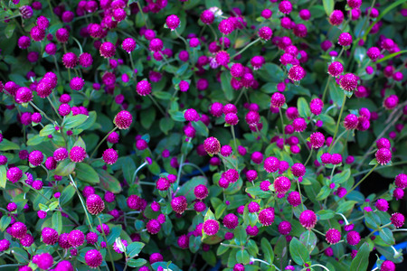 globosa: Gomphrena globosa flower in the garden