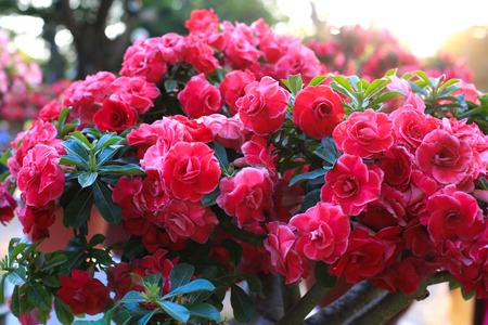 asterids: Red azalea flowers