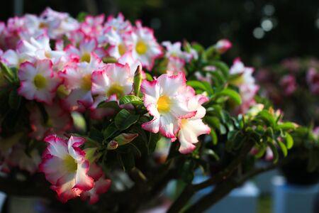 rose of the desert: Desert rose flower Archivio Fotografico