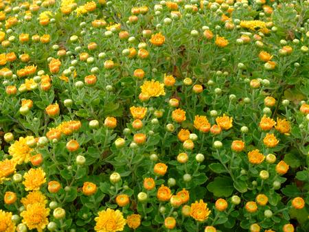 coronarium: Yellow Daisies