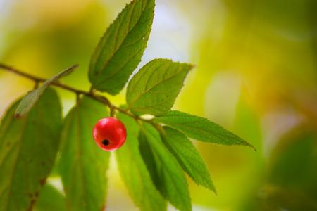 Cherry of Takb in VietNam
