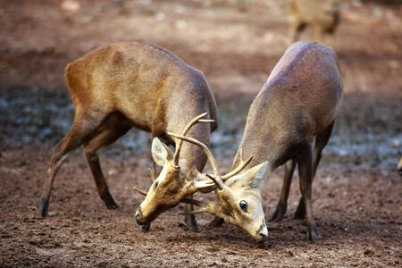 domination: Two deer male fighting for domination