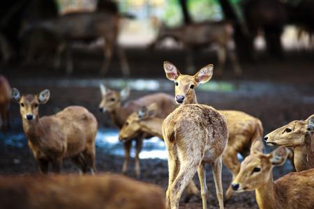 scottish female: Deer herd
