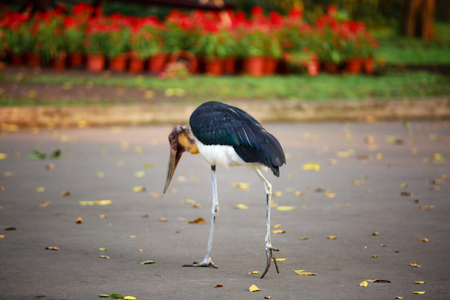 lesser: Lesser adjutant stork (Leptoptilos javanicus) in zoo Stock Photo