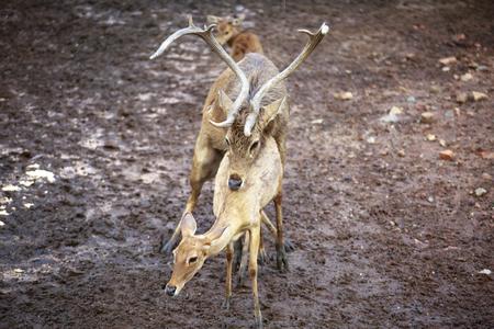 animal sex: Whitetail Deer Buck and Doe breeding having sex mating