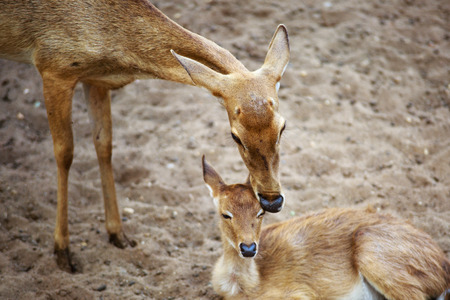 mother and baby deer: mother and baby deer in zoo