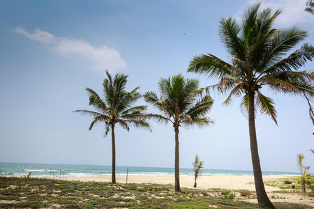 three palm trees: coconut palm trees at three Danang Vietnam coast