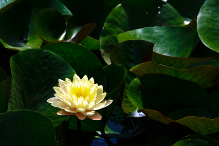 lily pads: Yellow with green lily pads Waterlily