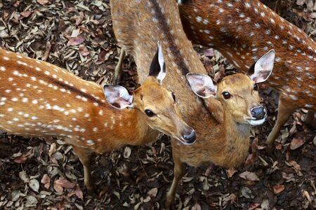 zoo animals: the white spotted deer in the zoo
