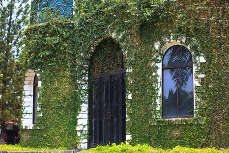 ivy wall: wall covered with ivy green Stock Photo