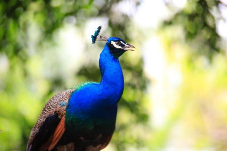 peacock wheel: Portrait of a male peacock