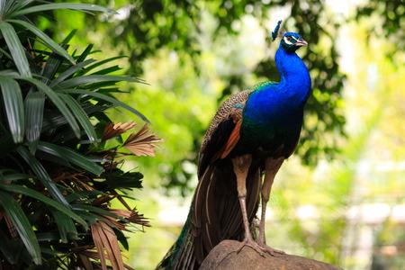common peafowl: Portrait of a male peacock