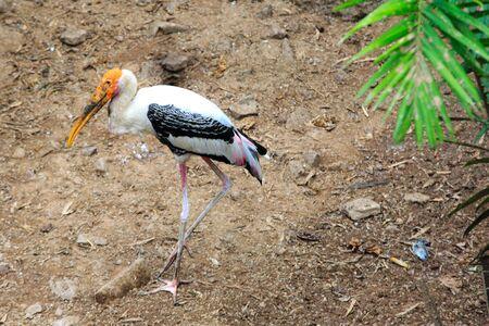 lesser: Lesser adjutant stork Stock Photo