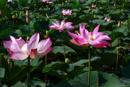 spiritless: pink lotus