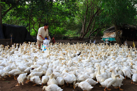 yielding: Vietnam Binh Duong city May 30 2015: duck farms in a locality in Binh Duong province Vietnam. a farmer for breeding duck duck ducks eat bran is high yielding Grow Quickly