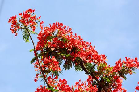 phoenix: Poinciana o Phoenix, es una especie de la planta tropical de floración en vivo o subtropicales.