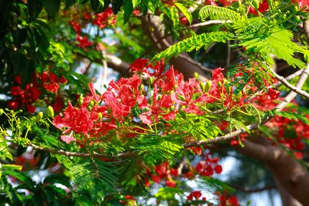 tropics: Poinciana or phoenix Phoenix, is a species in the tropics Flowering plant live or subtropics.